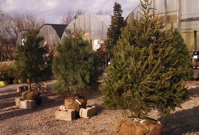 Franklin Plant Nursery Sells Rooted Christmas Trees